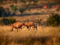 Blesboks in Entabeni Game Reserve
