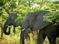 Elephants in Entabeni Game Reserve