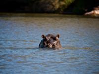 Hippopotamus in Entabeni Game Reserve