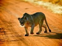 Lioness in Entabeni Game Reserve
