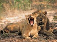 Lion Pair in Entabeni Game Reserve