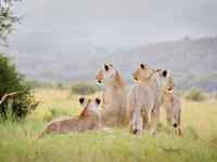 Pride of Lionesses in Entabeni Game Reserve