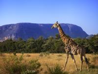 Giraffe in Entabeni Game Reserve
